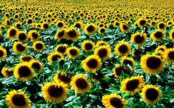 Earth - Sunflower Wallpapers and Backgrounds ID : 7582