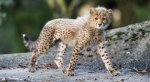 Cub HD Wallpapers | Background Images