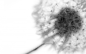 Earth - Dandelion Wallpapers and Backgrounds ID : 77030