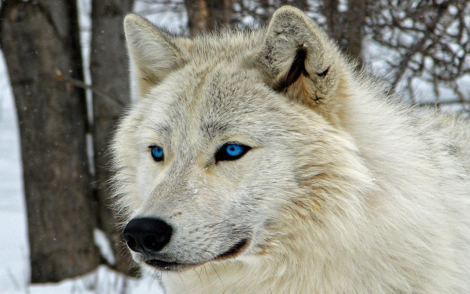 White Wolf With Blue Eyes HD Wallpaper