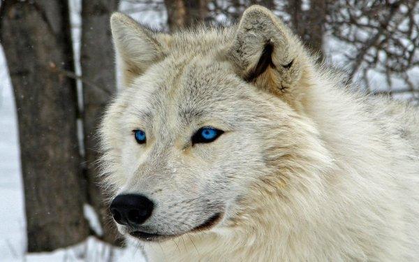 Animal Wolf White Wolf Blue Eyes HD Wallpaper   Background Image