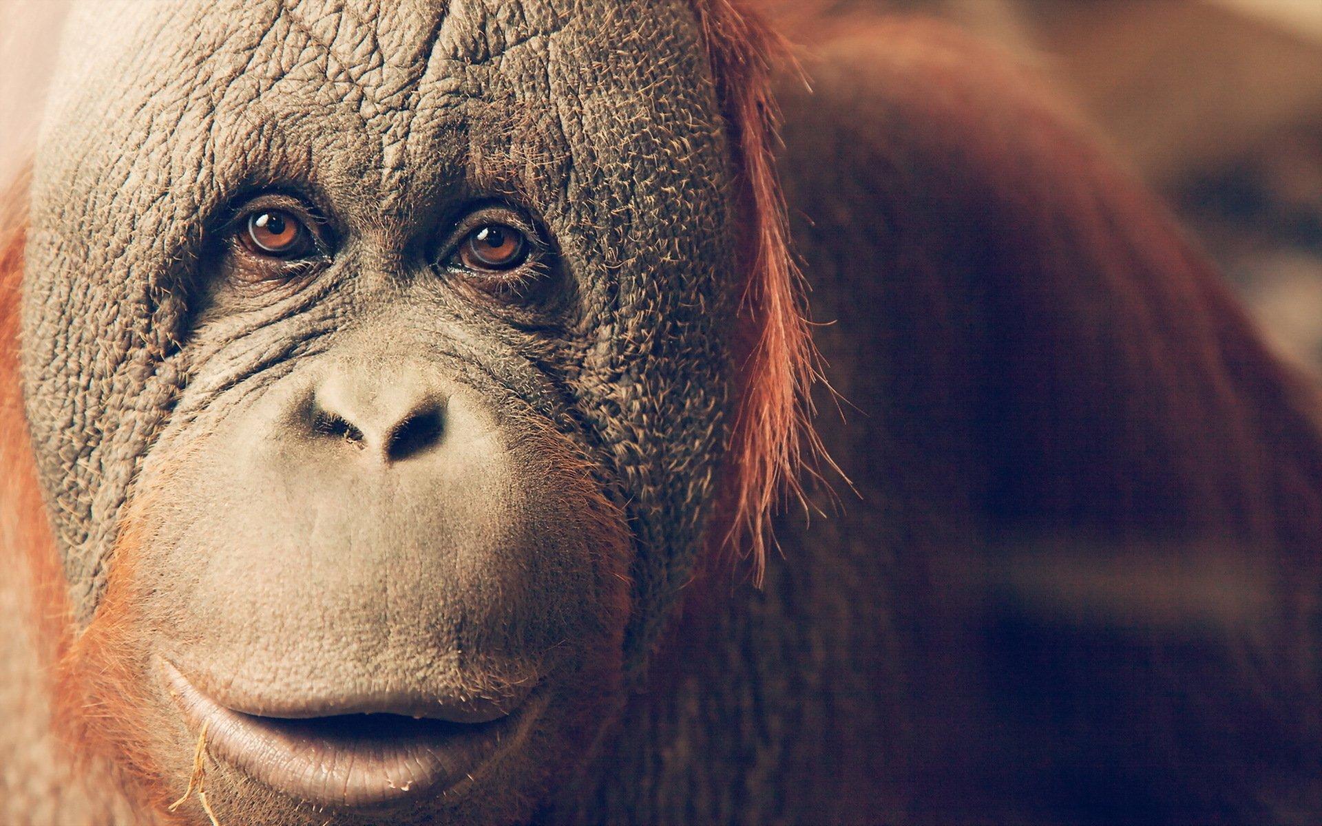 Orangutan Hd Wallpaper Background Image 1920x1200 Id773069