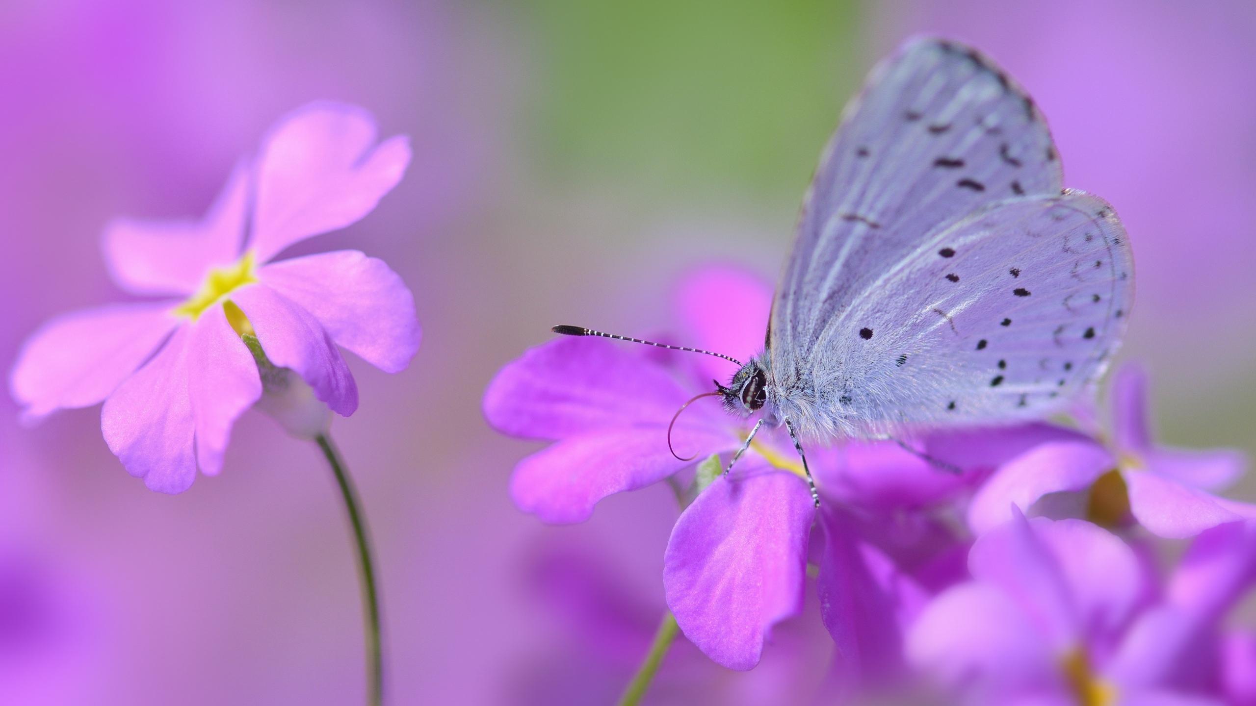 Papillon fond d 39 cran hd arri re plan 2560x1440 id 777140 wallpaper abyss - Image fleur violette gratuite ...