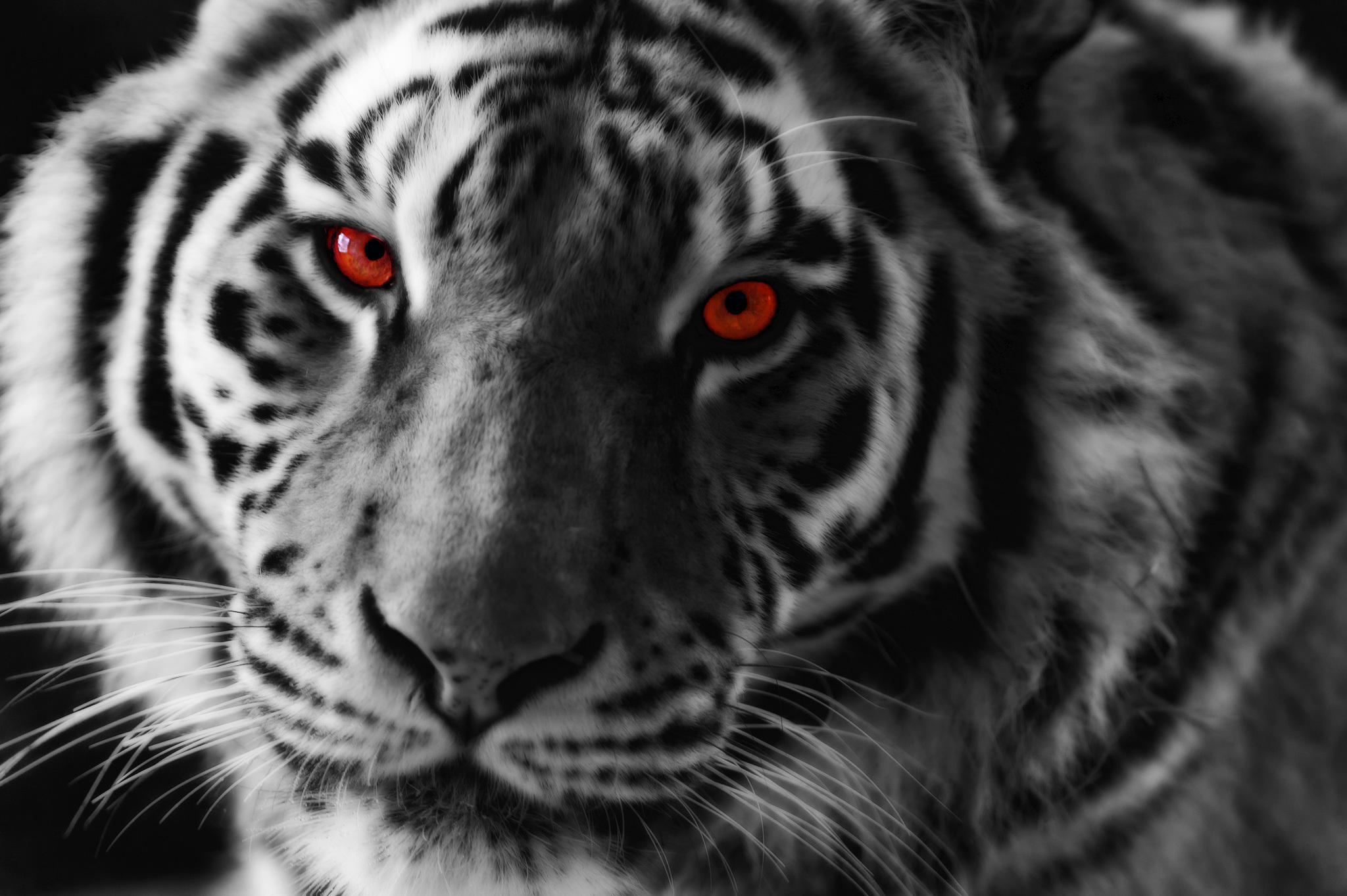 Tiger Hd Wallpaper Background Image 2048x1363 Id 779226
