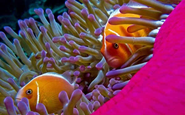 Animal Fish Fishes orange Anemone Close-Up HD Wallpaper   Background Image