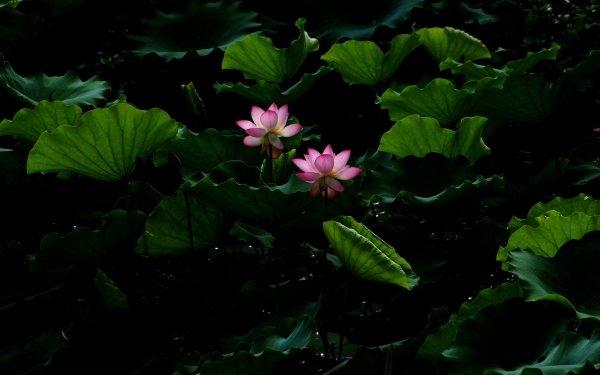 Earth Lotus Flowers Water Lily Flower Pink Flower Leaf HD Wallpaper | Background Image