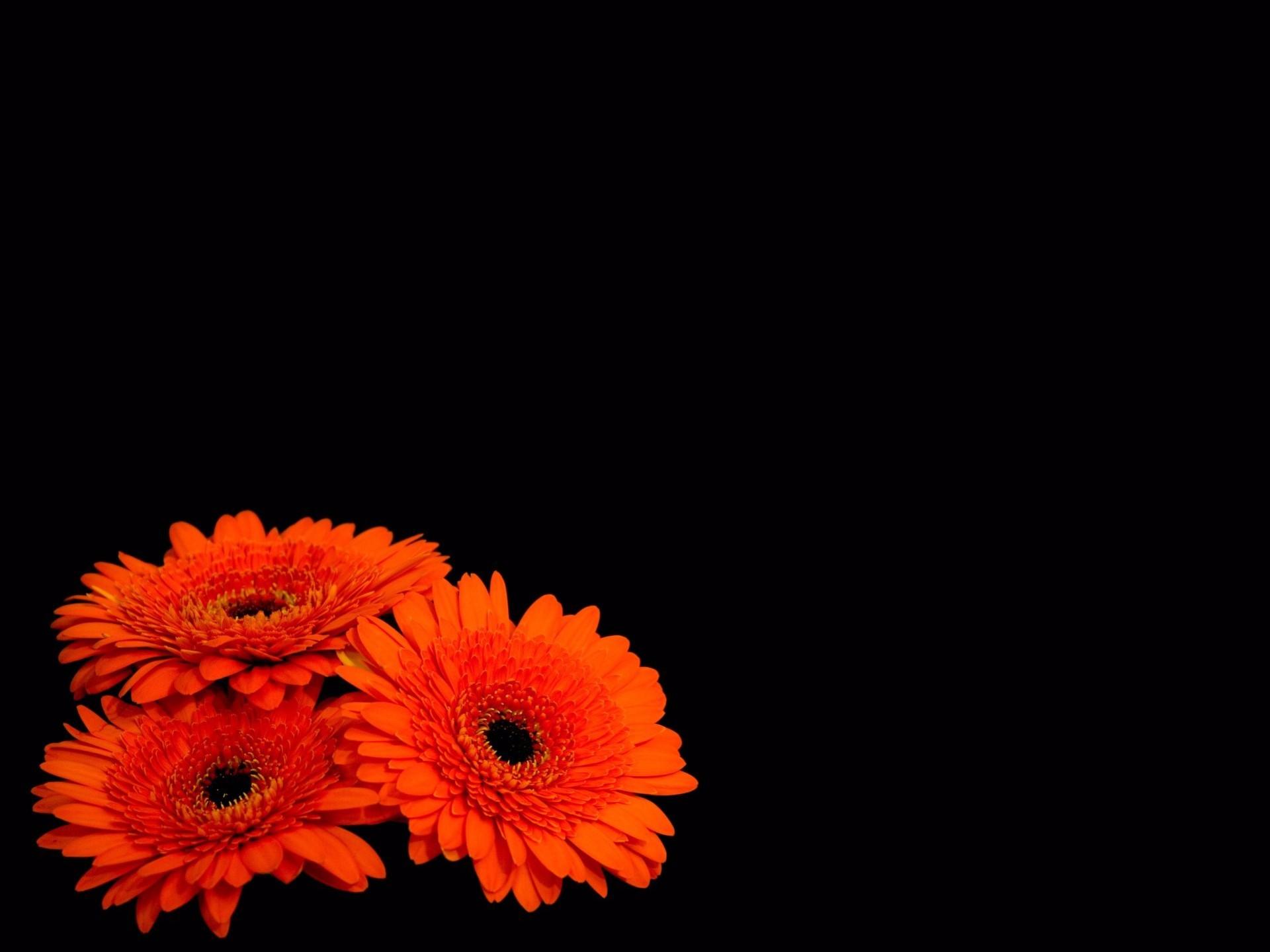 Orange Gerberas Fondo De Pantalla Hd Fondo De Escritorio