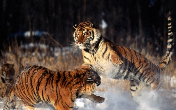Animalia - Tigre Wallpapers and Backgrounds ID : 78400