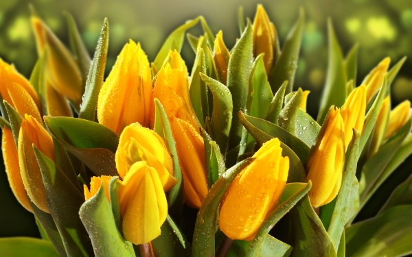 Earth Tulip Flowers Close-Up Yellow Flower Flower Water Drop Green HD Wallpaper   Background Image