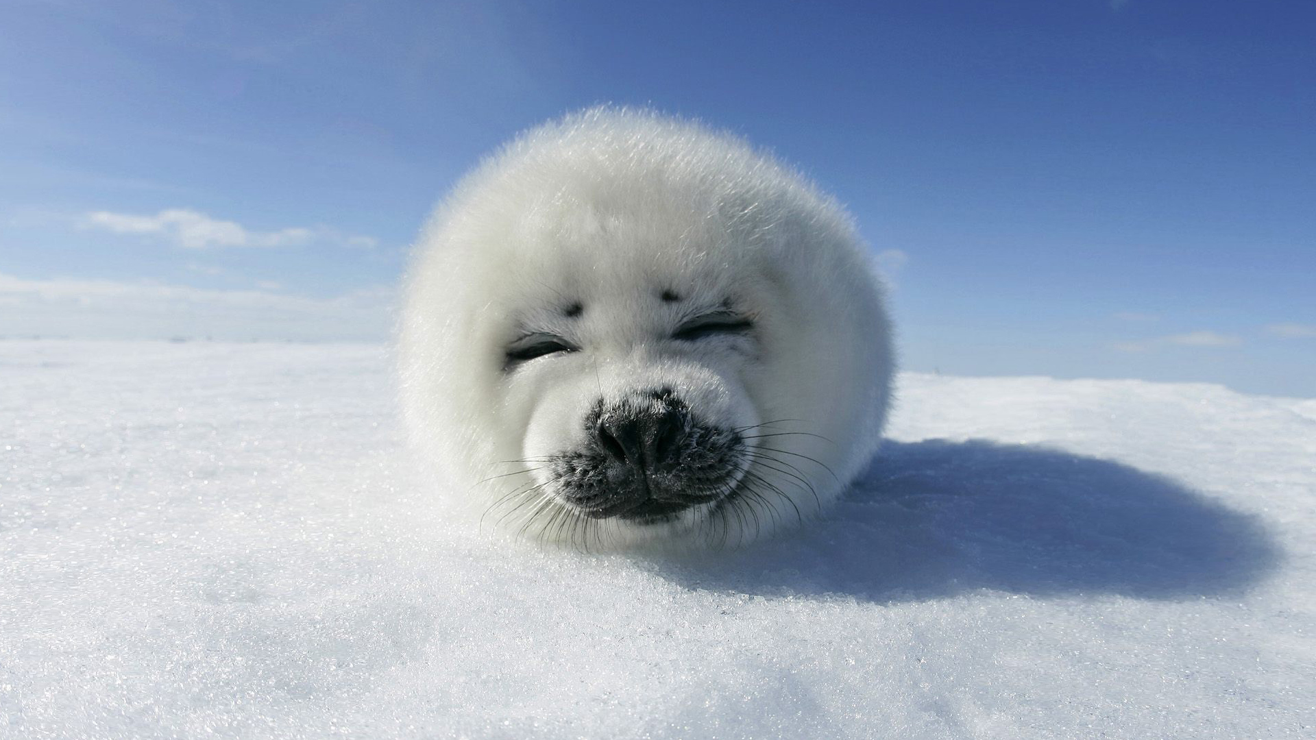140 seal hd wallpapers background images wallpaper abyss for Animal wallpaper for walls