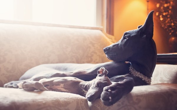 Animal Great Dane Dogs Dog Baby Animal Puppy HD Wallpaper   Background Image