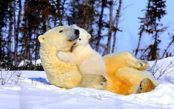 Animal Polar Bear Bears Cub Love Cute Cuddle Hug HD Wallpaper | Background Image