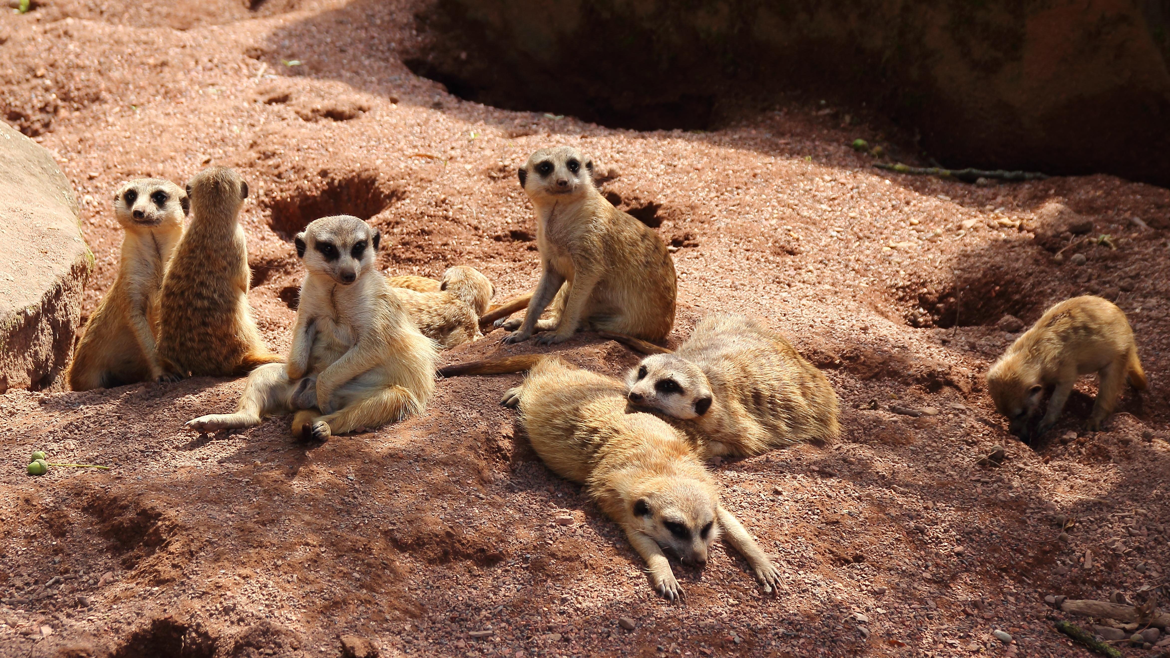 Meerkats 4k Ultra HD Wallpaper | Background Image ...