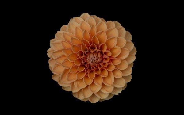 Earth Dahlia Flowers Flower Orange Flower HD Wallpaper | Background Image
