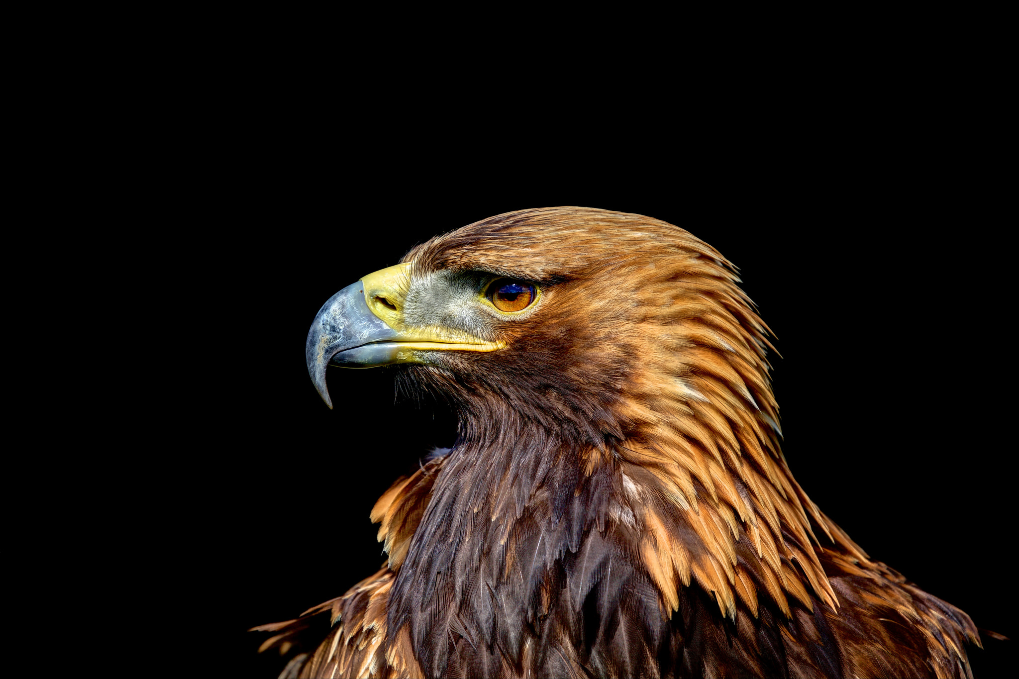 Golden eagle in profile full hd wallpaper and background for Gold bird wallpaper