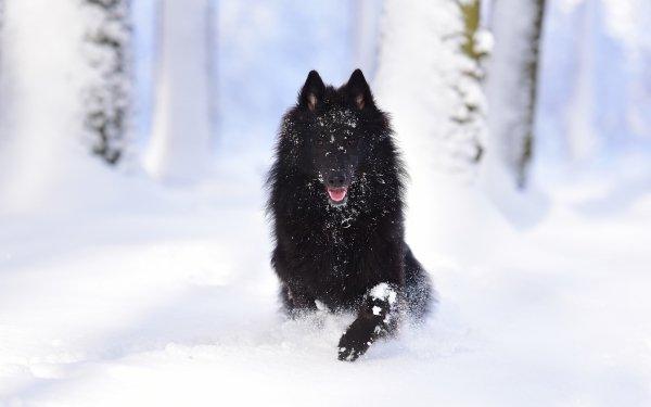 Animal Belgian Shepherd Dog Pet Winter Snow Running Groenendael HD Wallpaper | Background Image