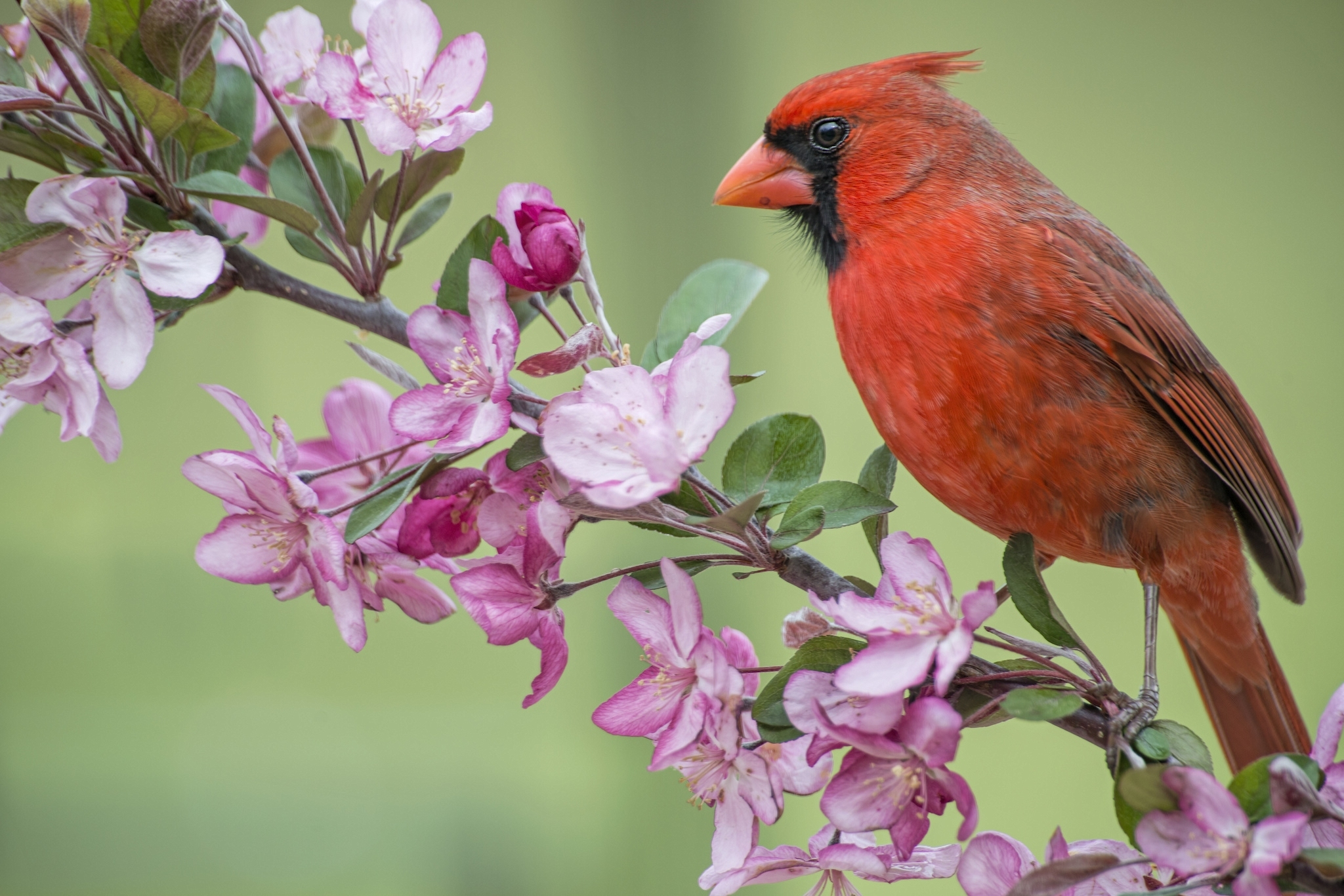 cardinal on flower branch full hd wallpaper and background image