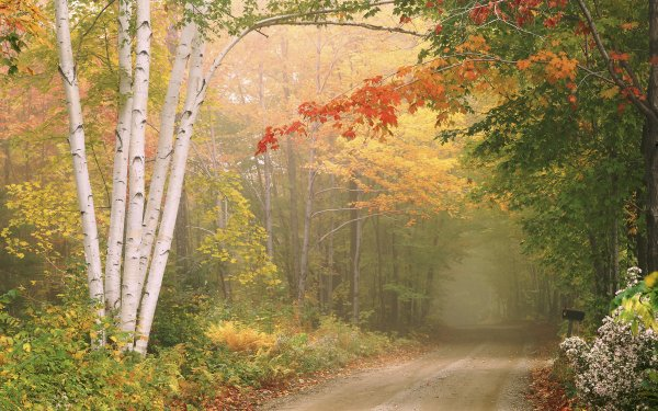 Man Made Path Dirt Road Fall Foliage Tree Forest Birch HD Wallpaper | Background Image