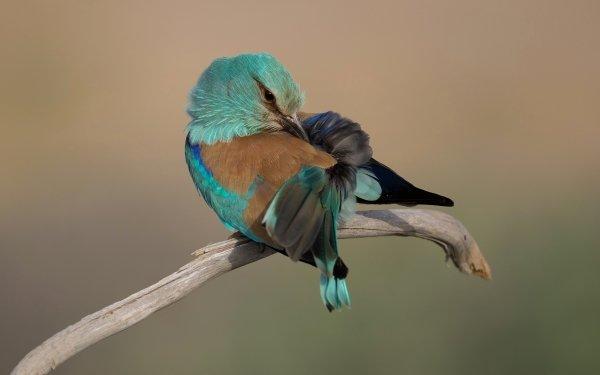 Animal Bird Birds Mint-Colored Roller HD Wallpaper | Background Image
