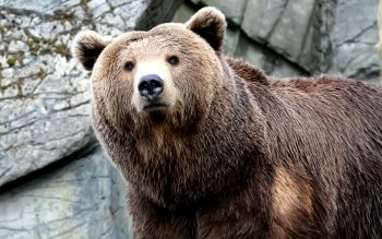 Animal - Bear Wallpapers and Backgrounds ID : 81062