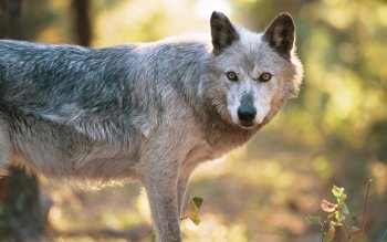 Animal - Wolf Wallpapers and Backgrounds ID : 81290