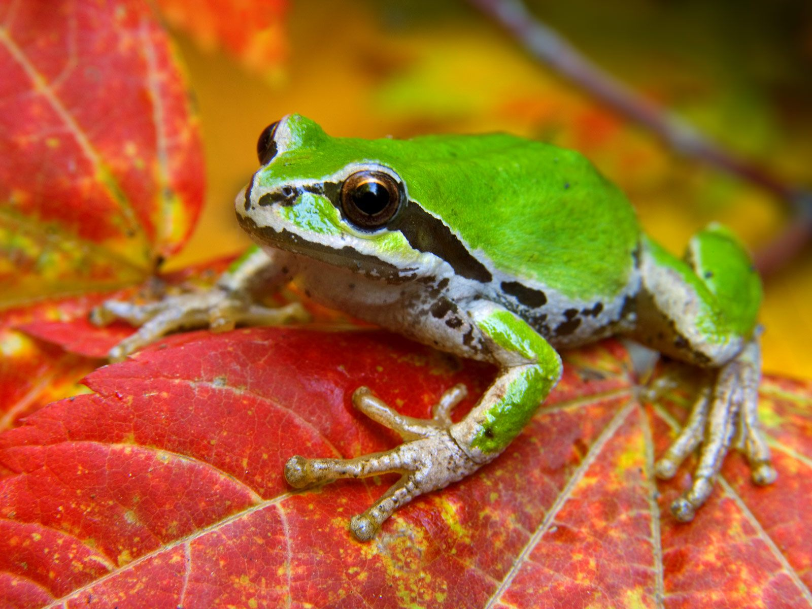 Animal - Frog  - Don Paulson - Autumn - Maple Leaf - National Parks - Washington - Olympic National Park - Green Tree Frog - Leaf Wallpaper
