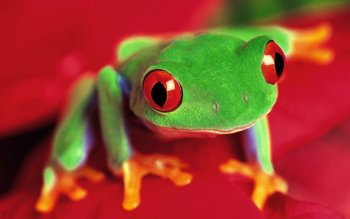 Animal - Frog Wallpapers and Backgrounds ID : 81320