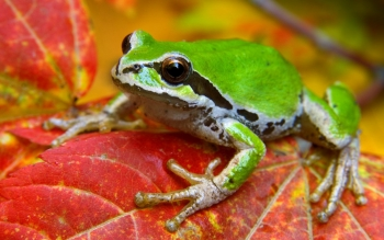 Animal - Frog Wallpapers and Backgrounds ID : 81322