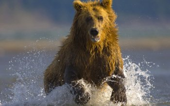 Animal - Bear Wallpapers and Backgrounds ID : 81470