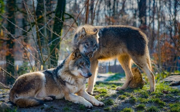 Animal Wolf predator Mammal Wildlife HD Wallpaper | Background Image