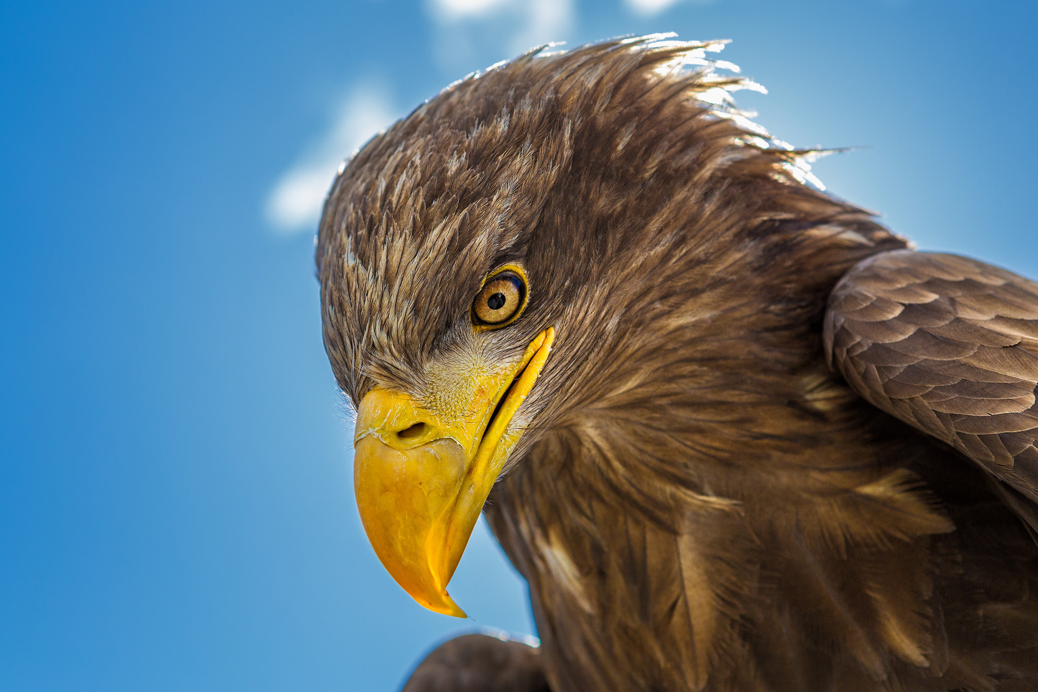 Golden Eagle HD Wallpaper | Background Image | 2048x1365 ...