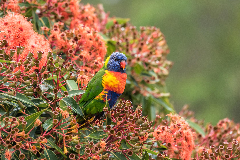 A Beautiful Couple Of Lorikeet Birds Wallpaper Hd: Rainbow Lorikeet HD Wallpaper