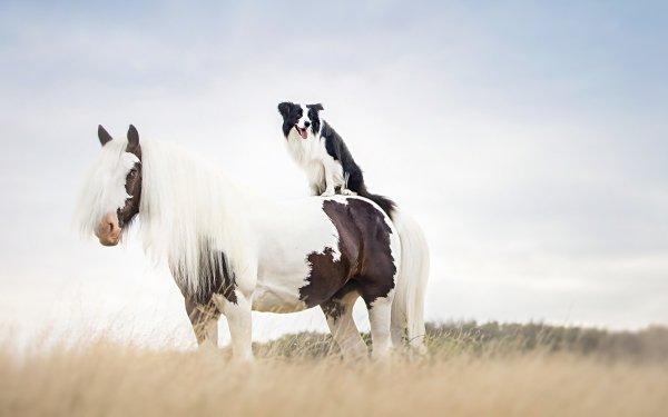 Animal Horse Dog Border Collie HD Wallpaper   Background Image