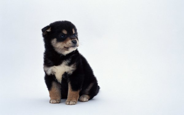 Animal Dog Dogs Puppy HD Wallpaper   Background Image