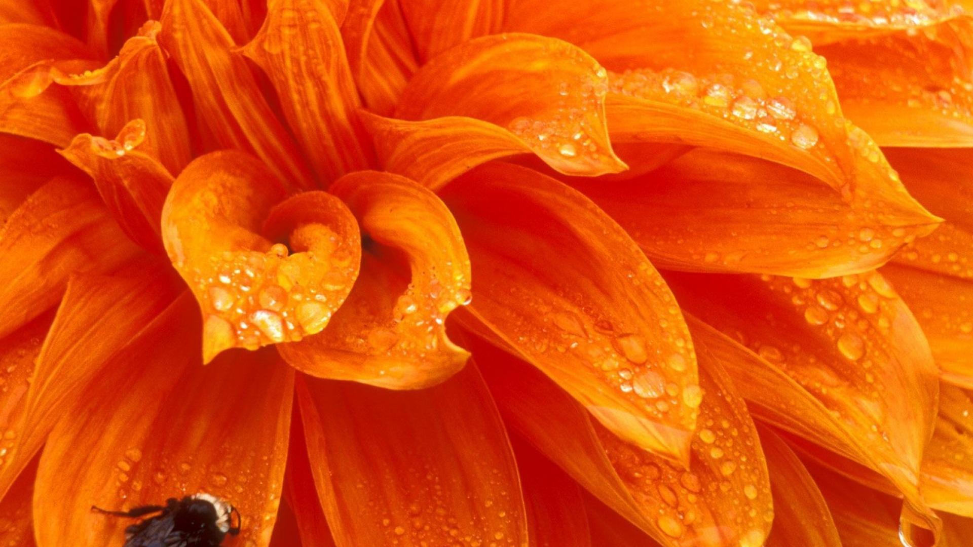 Bee on Orange Flower HD Wallpaper | Background Image ...