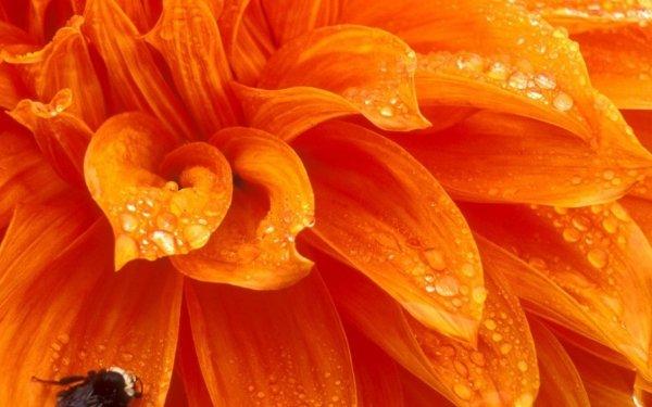 Earth Flower Flowers Petal Bee Macro Orange Flower HD Wallpaper   Background Image