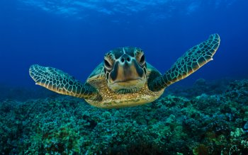 Animalia - Tortuga Wallpapers and Backgrounds ID : 83660