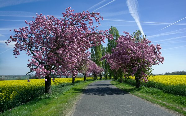 Man Made Road Spring Tree Blossom Field Rapeseed HD Wallpaper   Background Image