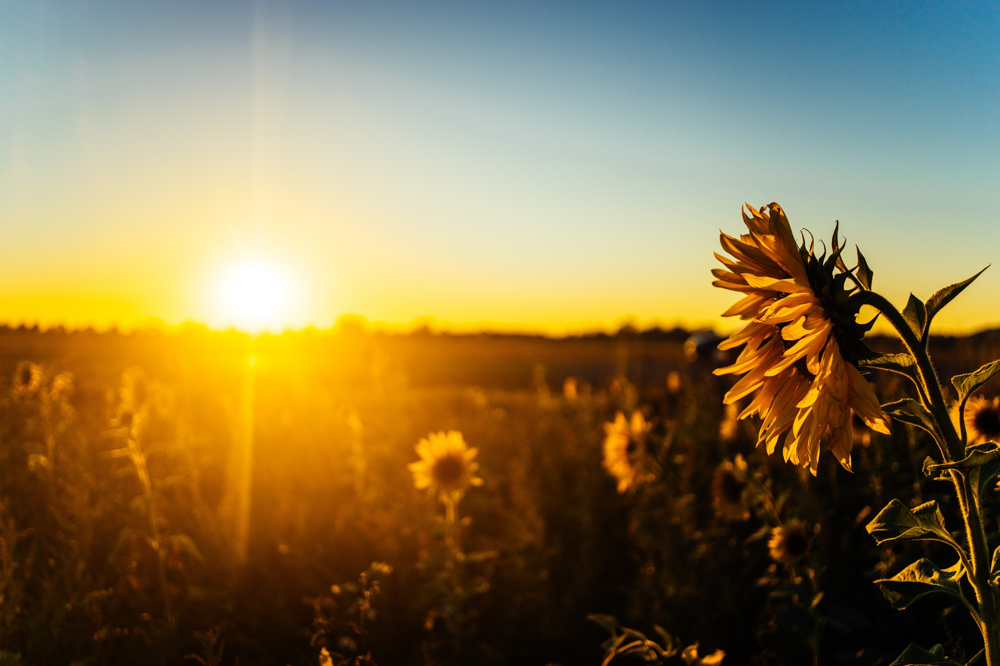 sunflower full hd wallpaper and background image