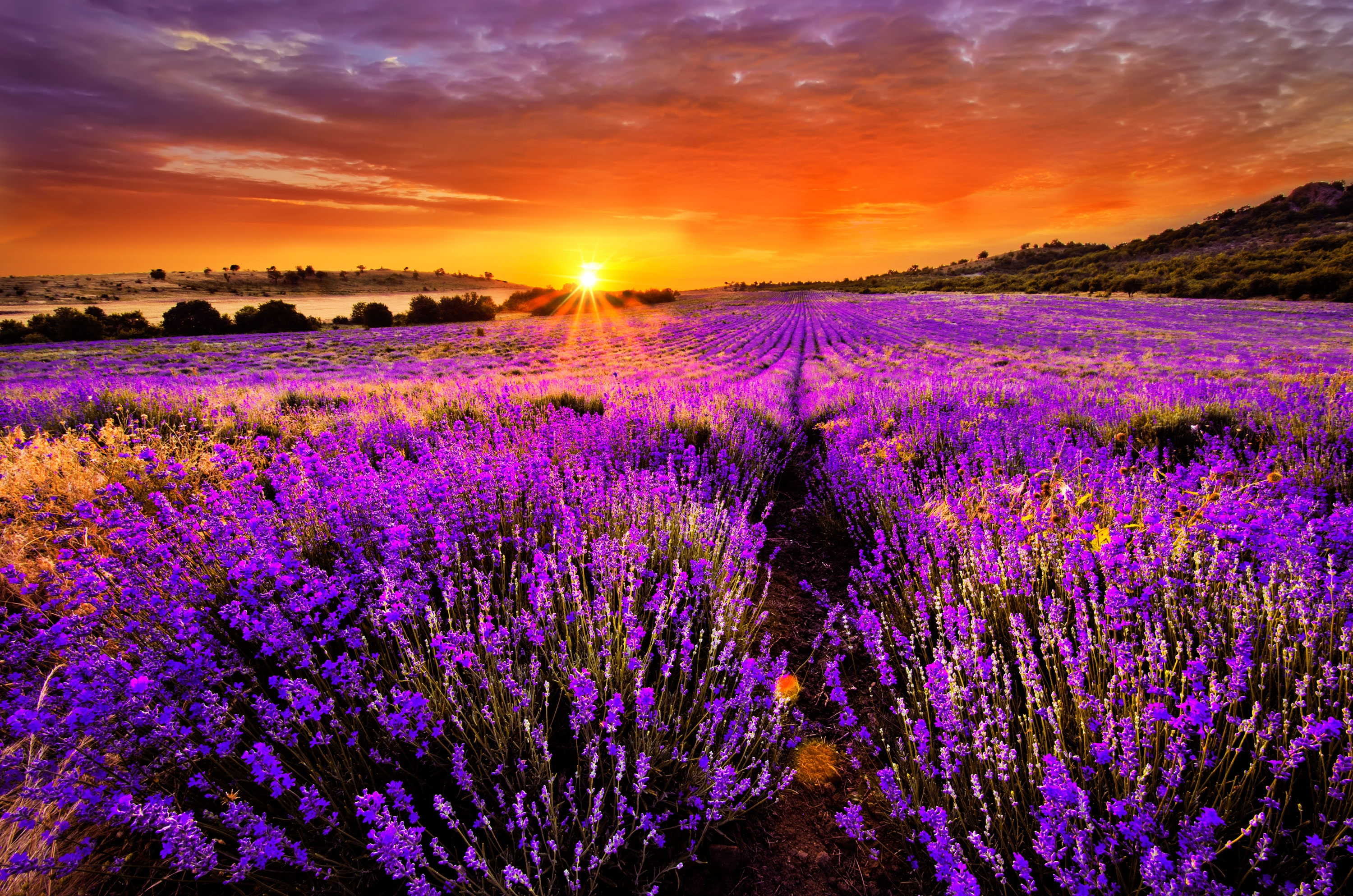 Lavender Field at Sunset HD Wallpaper | Background Image ...