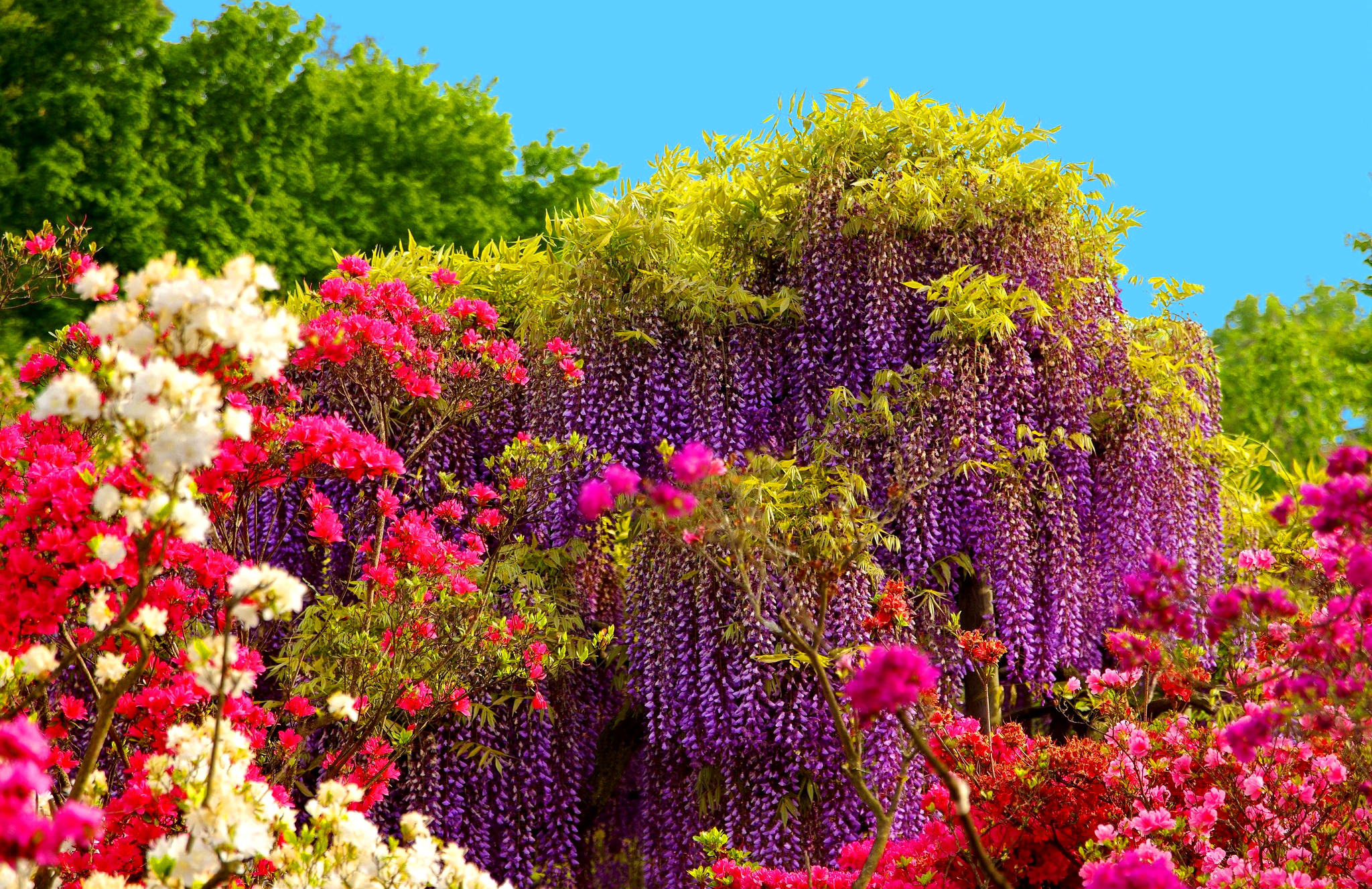 Wisteria Tree And Spring Flowers Full Hd Wallpaper And