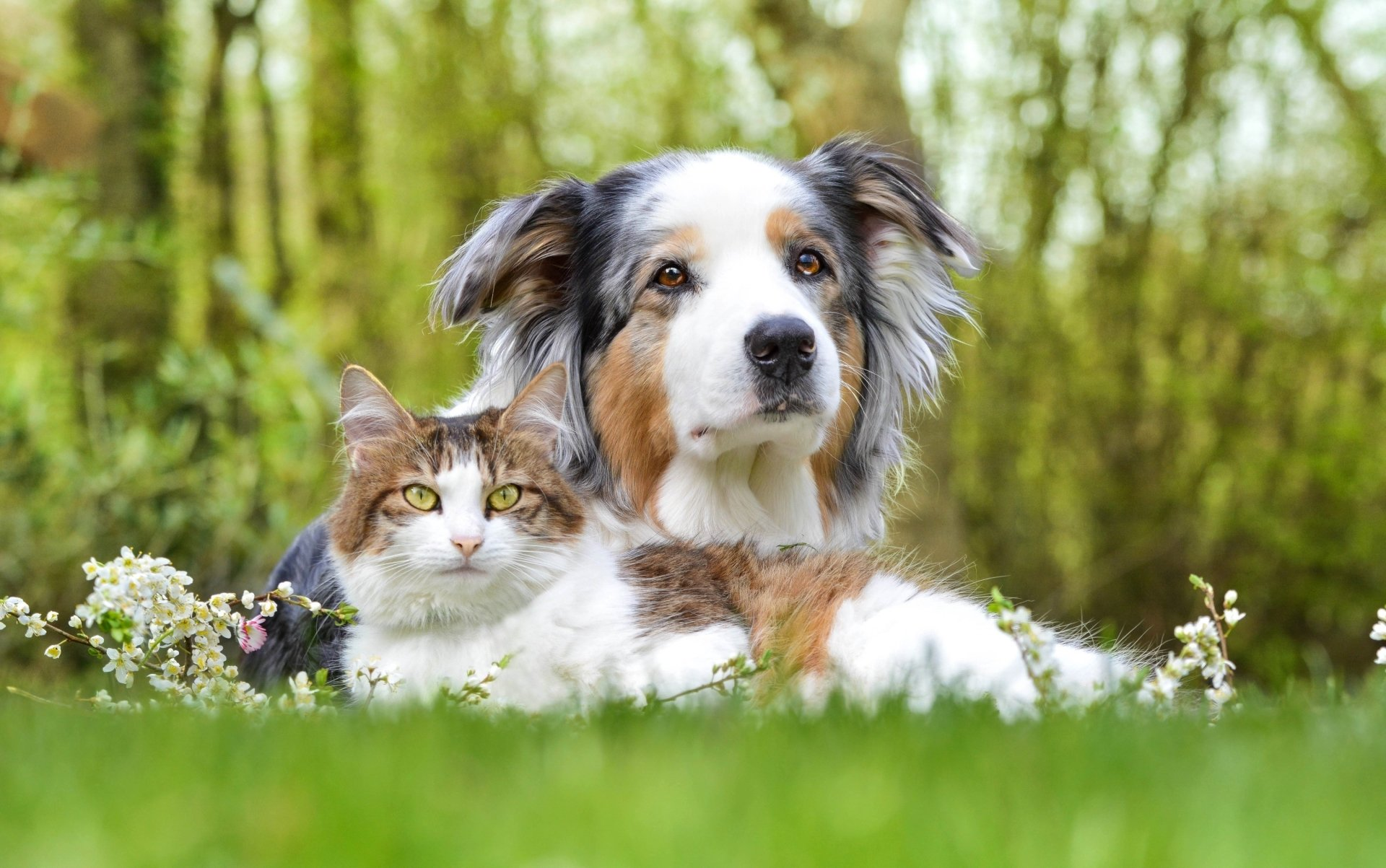Animal - Cat & Dog  Animal Dog Cat Cute Australian Shepherd Wallpaper