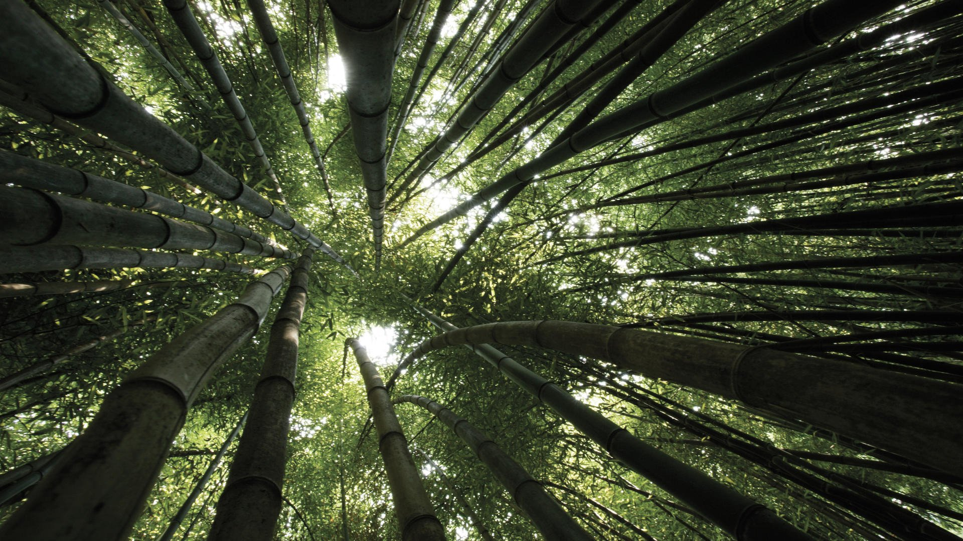 97 bamboo hd wallpapers | background images - wallpaper abyss