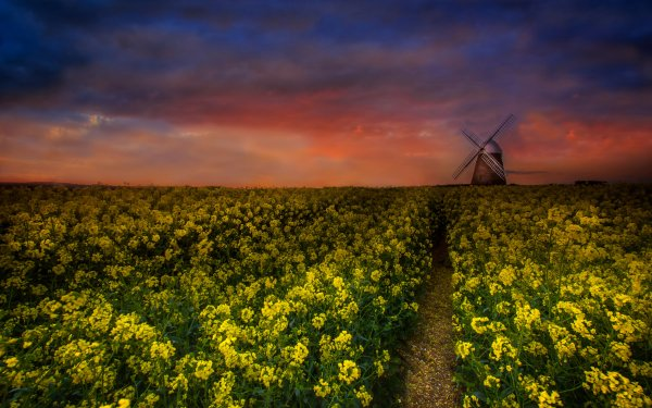 Man Made Windmill Buildings Flower Rapeseed Field Sunset HD Wallpaper   Background Image