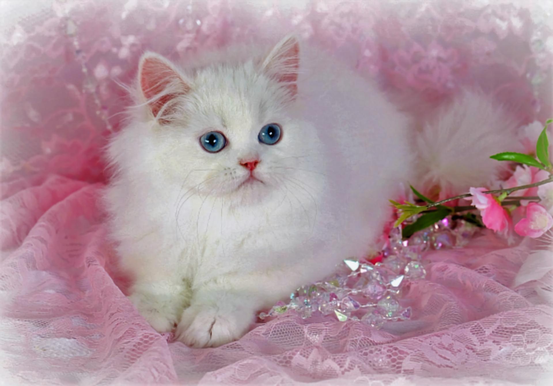 White Persian Kitten Hd Wallpaper Background Image
