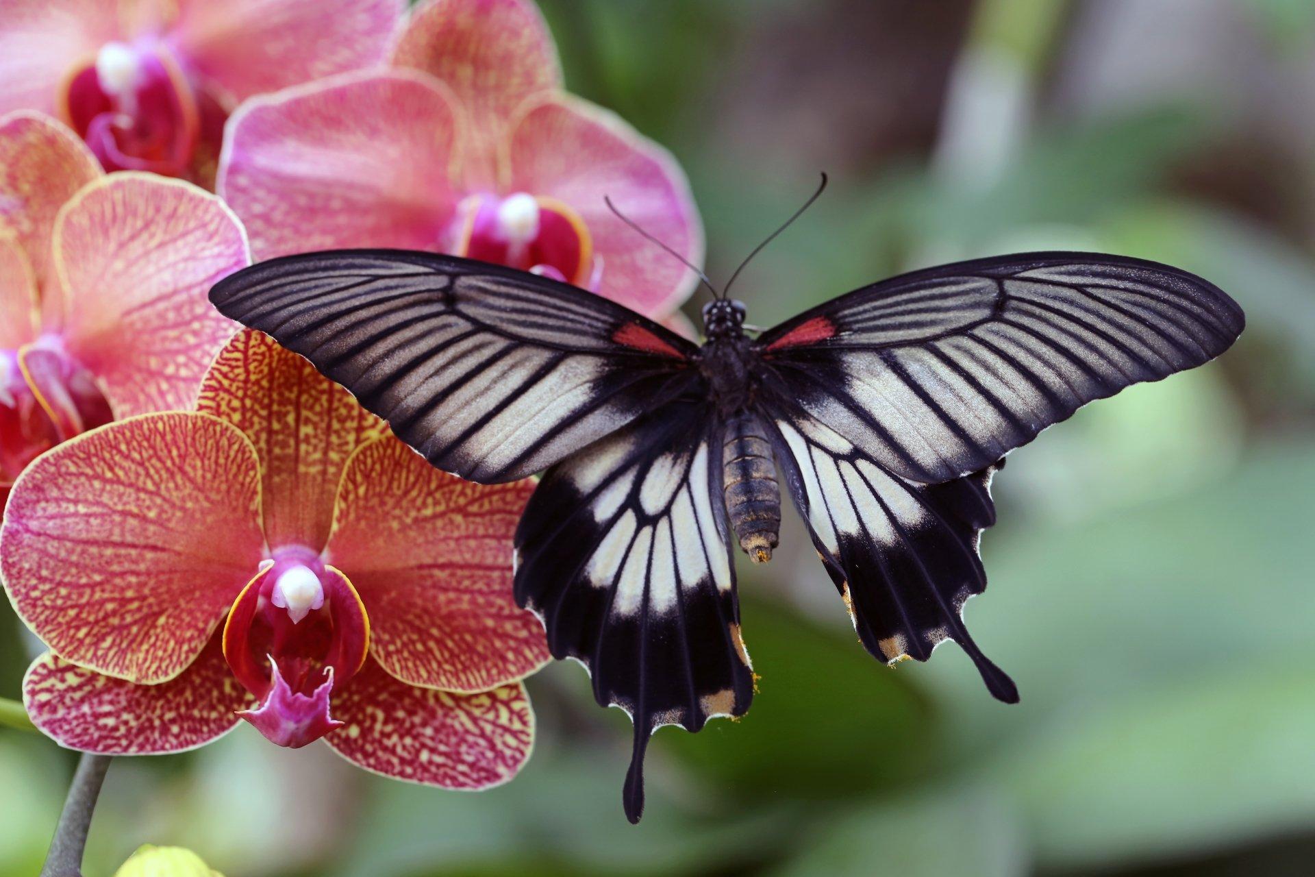 Butterfly on Orchid 5k Retina Ultra HD Wallpaper ...