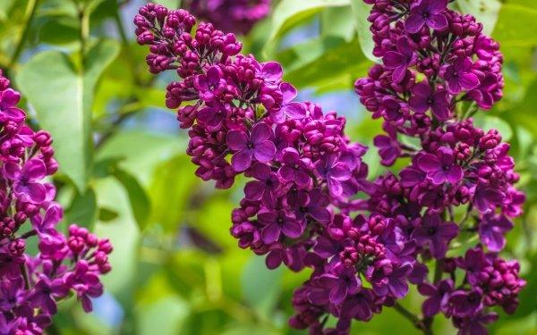 Earth Lilac Flowers Flower Plum Purple Flower HD Wallpaper   Background Image