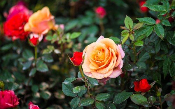 Earth Rose Flowers Nature Flower Peach Flower Rose Bush HD Wallpaper | Background Image