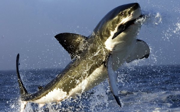 Animal - shark Wallpapers and Backgrounds