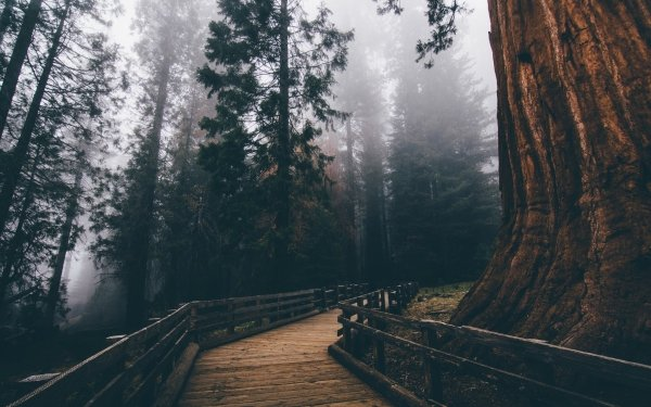 Man Made Path Forest Tree Fog Boardwalk HD Wallpaper | Background Image